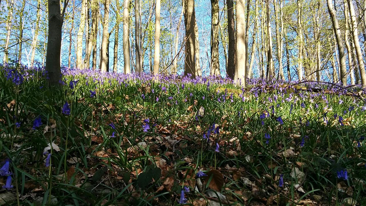 Bluebells in Workmans Woods