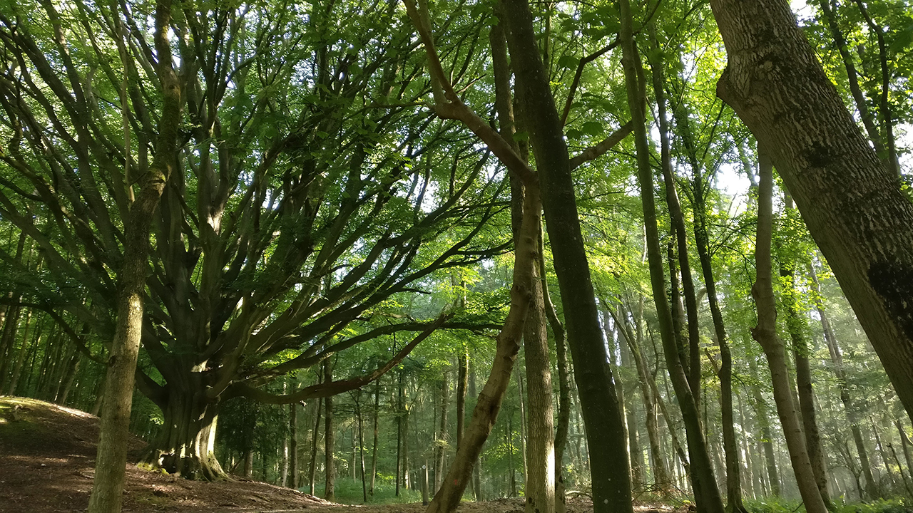 Ancient tree in Workmans Woods