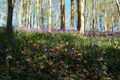 Bluebells in Workmans Woods